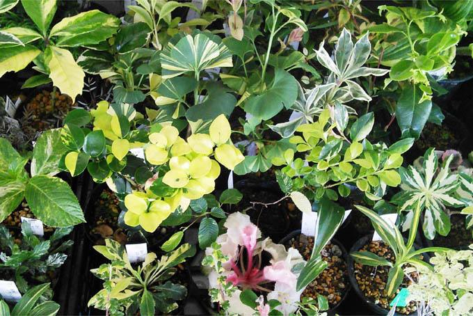 斑入・葉変り植物。