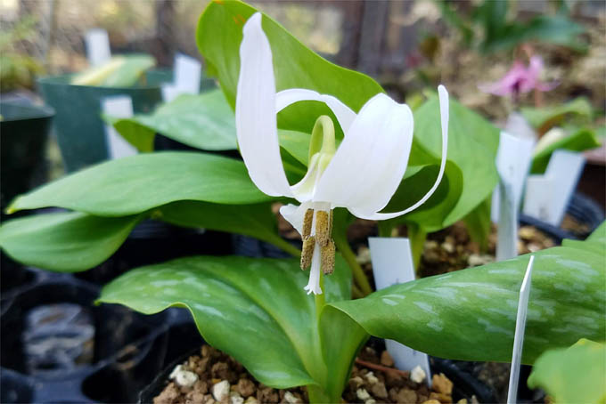 白花カタクリ