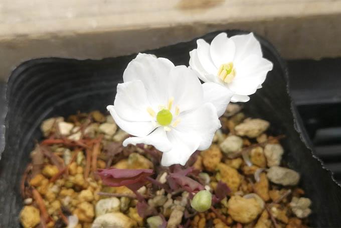 白花タツタソウ