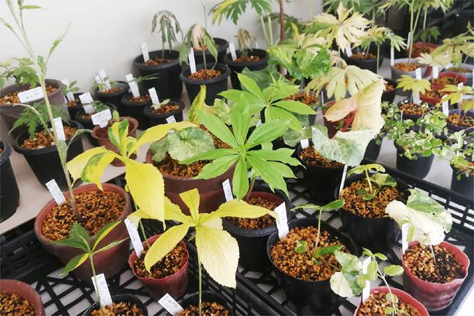 斑入植物たち。